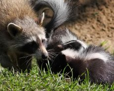 The Complete Guide To What Skunks Eat